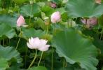 Lotus04